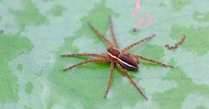 La araña acuática